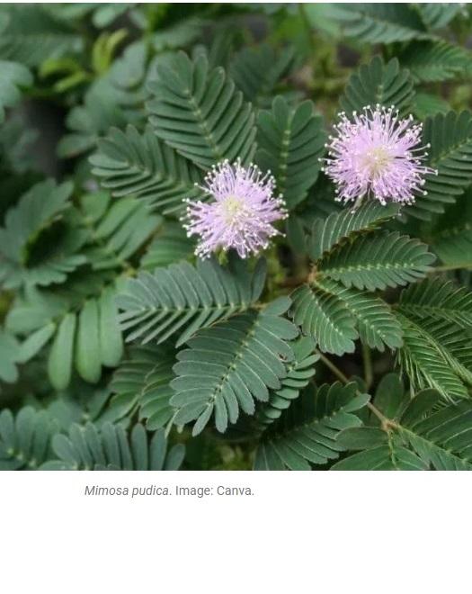 """""""What a plant learns. The curious case of Mimosa pudica"""" Artículo de Michael Marder y Monica Gagliano en el blog Botany One (13 de agosto de 2019)"""